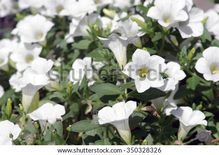 Close-up flowers of white petunias - stock photo