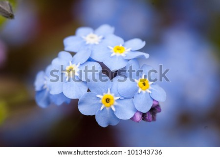 close-up forget me not - stock photo