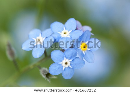 Close-up forget me not on green background