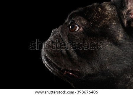 Close-up French Bulldog Dog in Profile view Isolated on black background - stock photo