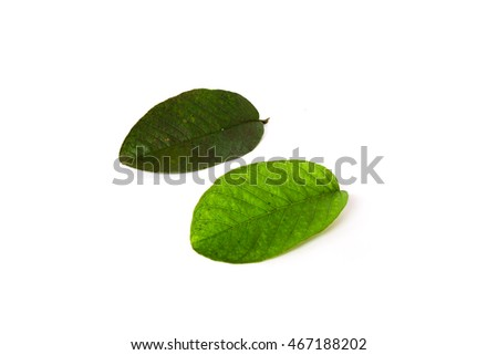 Close-up fresh green Guava or Apple Guava (Psidium Guajava) leaves isolated on white. Its freshly picked from home growth organic garden in Vietnam. Guava is popular in tropical regions. Food concept.
