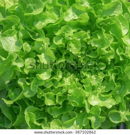 Close up fresh lettuce leaves - stock photo