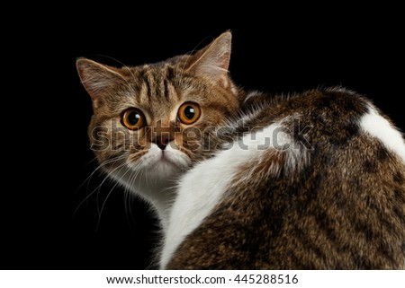 Close-up Frightened Scottish Straight Cat Turned back Head on Isolated Black Background, Back view, Curious Looks, Tabby with white Cat - stock photo
