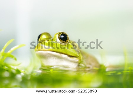 Close up frog in a pond, shallow depth of field. - stock photo