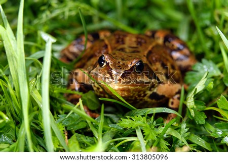 Close up frog on a background of grass in natural habitat - stock photo