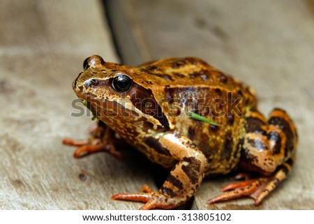 Close up frog on a background of wood in natural habitat - stock photo