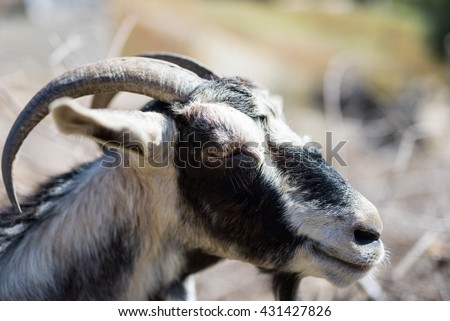 Close-up from a goat-head in the south of Crete, Greece. Livestock, agriculture and farming determine the the picture on the Island. Husbandry of goats is very popular on Crete - stock photo