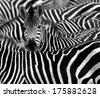 close up from a zebra...