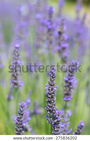Close up from blooming lavender in the fields - stock photo