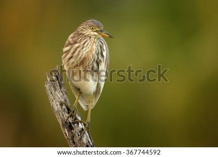 Close up front photo of wading bird Indian Pond-heron Ardeola grayii in beautiful light, perched on old stake. Art view. Bright yellow eyes.Abstract blurred green and brown background. Sri Lanka. - stock photo