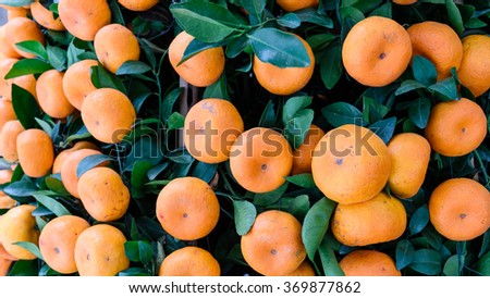 Close-up, full frame view of virbrant ripe Kumquats fruits on tree decorations for Chinese New Year. Kumquat (cumquat, golden tangerine) is symbol of Lunar New Year. Nature background. Panormic style - stock photo