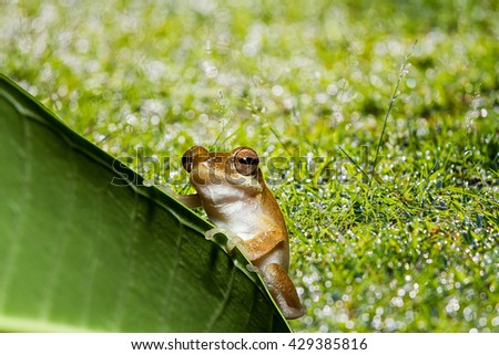 Close up golden tree frog on tree leaf and green grass with bokeh background,soft focus. - stock photo