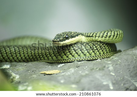 Close up Golden tree snake relax on the rock - stock photo