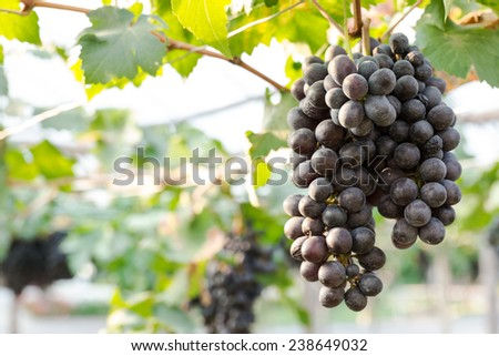Close up grapes clusters - stock photo