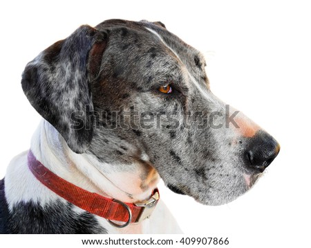 Close up great dane dog isolated on white background - stock photo