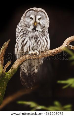 close up Great Grey Owl - stock photo