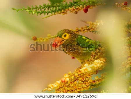 Close up green and brown Brown-headed Barbet Megalaima zeylanica  feeding on fruits of palm tree with berry in its beak. Soft light, blurred colorful background. Sri Lanka.    - stock photo