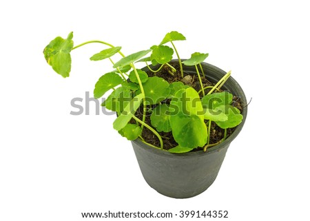 Close up green Asiatic Pennywort (Centella asiatica , Hydrocotyle umbellata L or Water pennywort ) in black plastic pot on white background