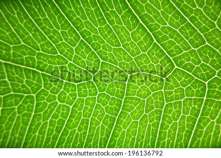 close-up green bodhi leaves - stock photo