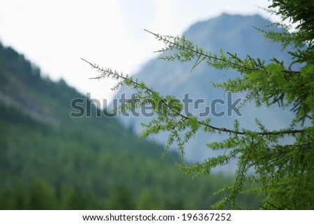 close-up green larch branch on a background of the Sayan Mountains not in focus - stock photo