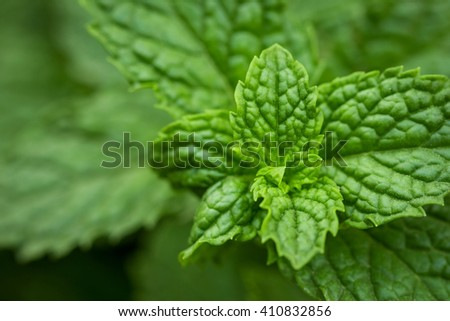 Close up green peppermint leaves. fresh mint. - stock photo