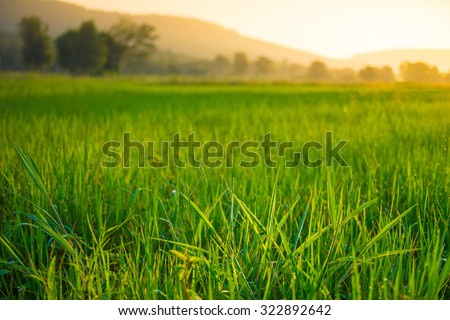Close up Green rice field and sunset - stock photo