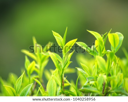 Close up Green Tea Leaves in Garden on plantation, darjeeling, west bengal, India