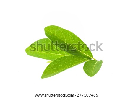 Close up green tree leaf isolated on white background