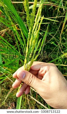 close up hand pick green rice plant in paddy field