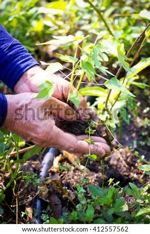 Close-up hand whole organic papaya tree for planting - stock photo