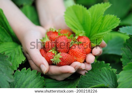 Close-up hands holding fresh strawberries - stock photo