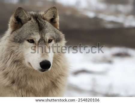Close up head and shoulders image of an alert timber wolf, or gray wolf. - stock photo