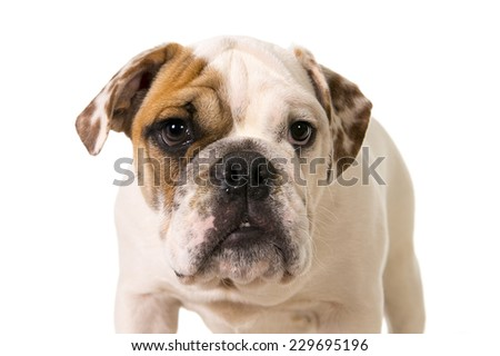 close up head of young little French Bulldog cub looking curious at the camera isolated on white background studio lighting in sweet domestic dog pet concept