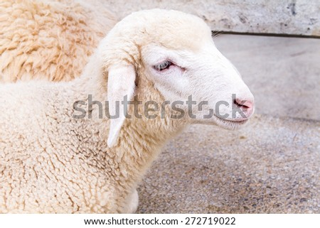 Close up head of young sheep in the farm. - stock photo