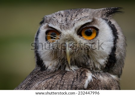 Close up head portrait of a white-faced scops owl showing detail in feathers and eye. Isolated portrait - stock photo