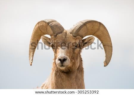 Close up head shot of a big horn sheep ram; looking at photographer - stock photo