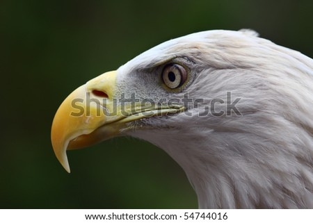 Close up head shot of an American Bald Eagle. - stock photo