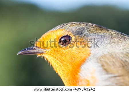 Close up headshot of a european robin taken in sunlight