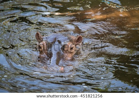 Close up hippopotamus, or hippo, mostly herbivorous mammal in water - stock photo