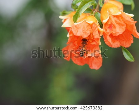 close up honey bee pollinating pomegranate red flower nature background - stock photo