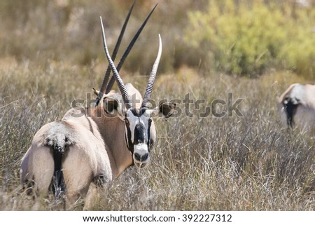 Close up image of a Gemsbok / Oryx eating grass on the plains of South Africa - stock photo