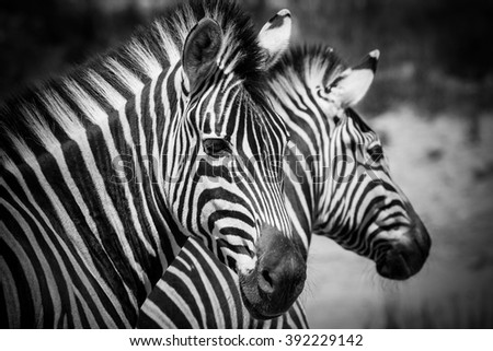 Close up image of a group of zebras on the plains of south africa - stock photo