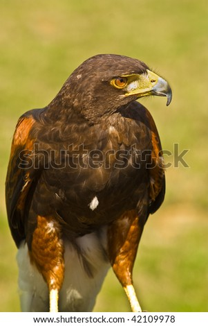Close up image of a hawk - stock photo