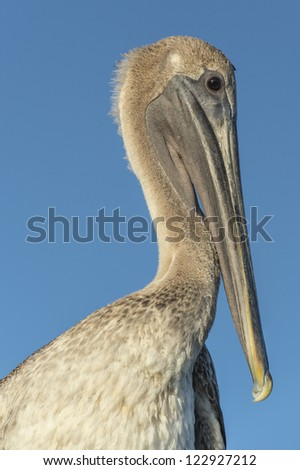 Close-up image of a Pelican bird in Dry Tortugas - stock photo