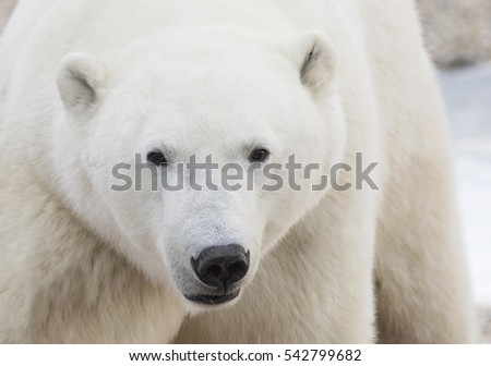 Close up image of a polar bear.  Churchill, Manitoba, Canada