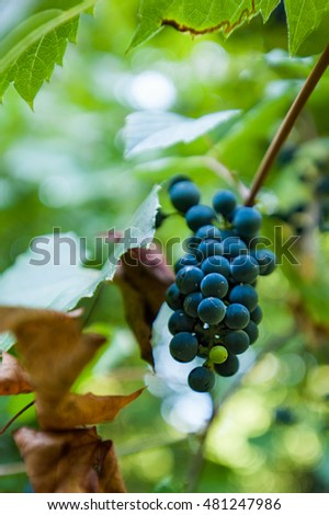 Close-up image of a red grape with nature background