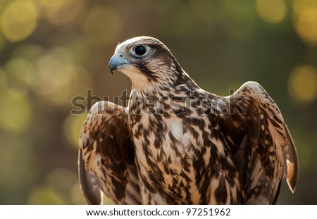 Close up image of a Saker Falcon in the early morning showing beautiful dawn light behind the falcon - stock photo