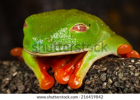 Close up image of a sleeping red eye tree frog, focus on the eye. - stock photo