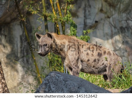 Close-up image of a Spotted Hyena standing