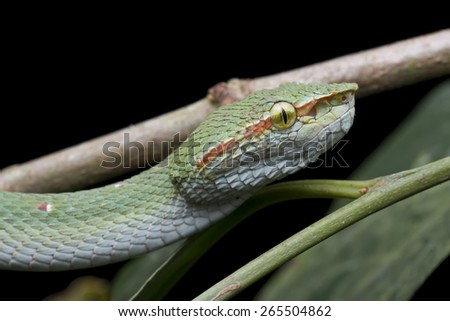 Close-up image of a venomous pit viper on green vegetation - stock photo